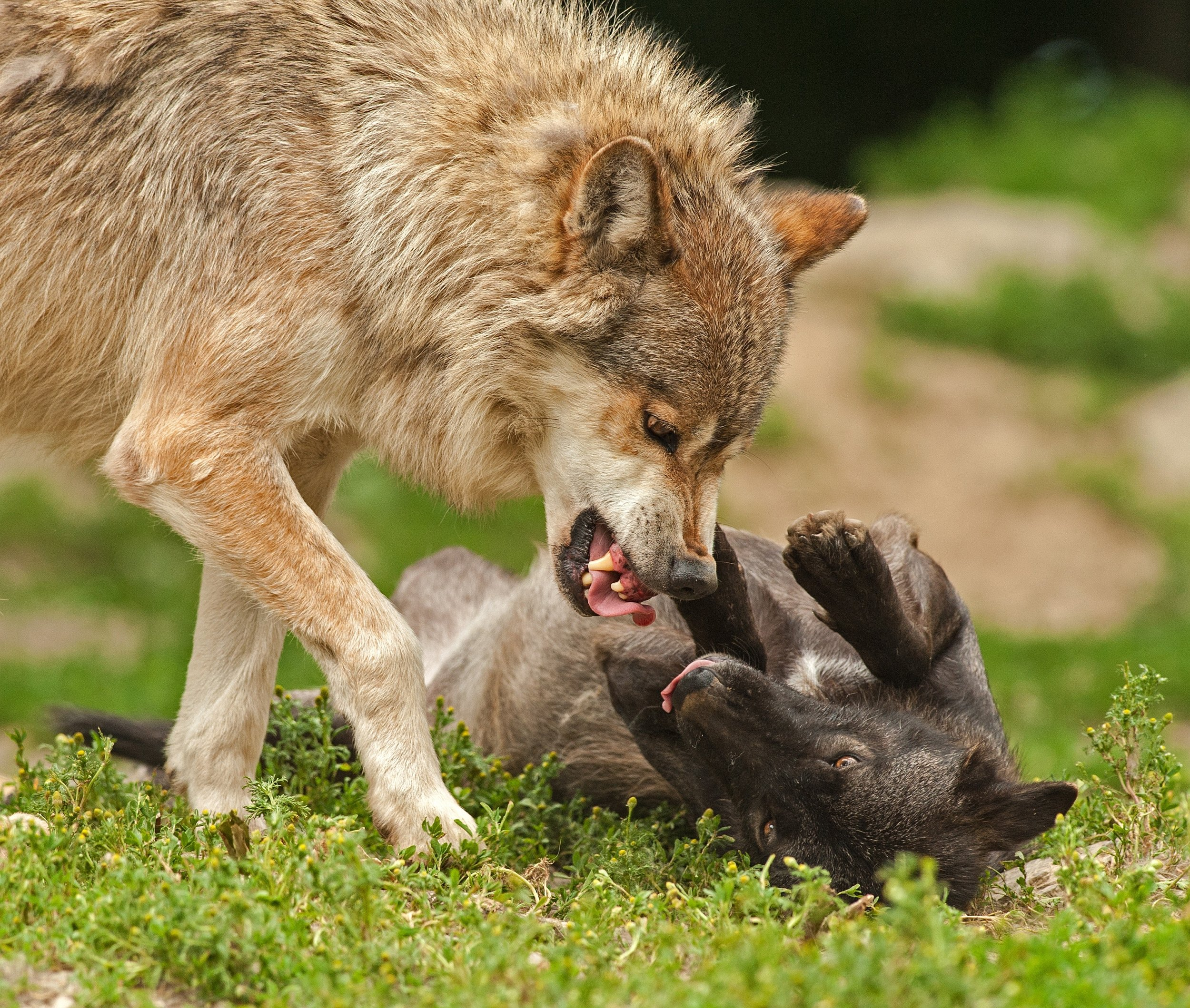 animal-attack-battle-2365.jpg