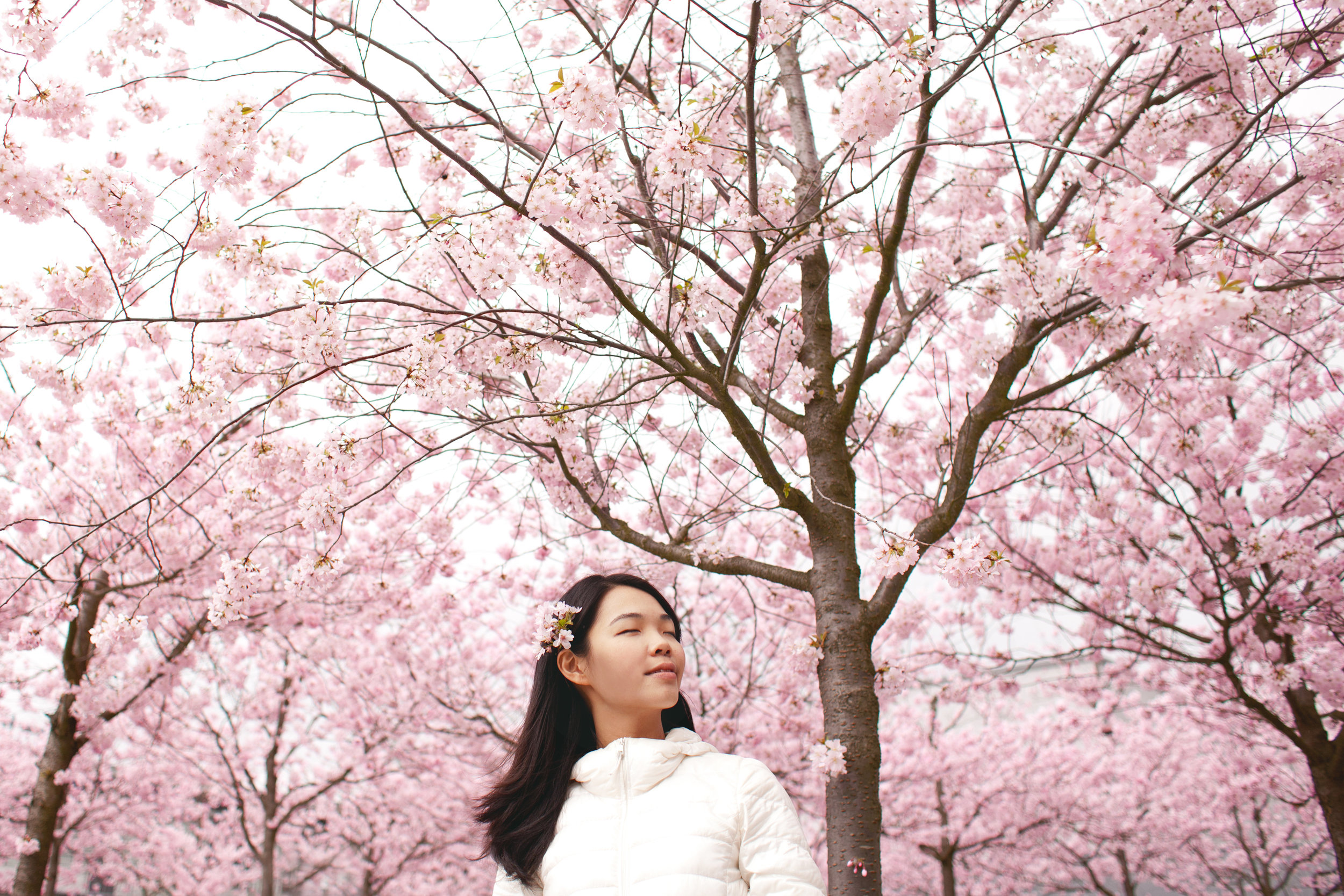 Asian girl among cherry blossoms.