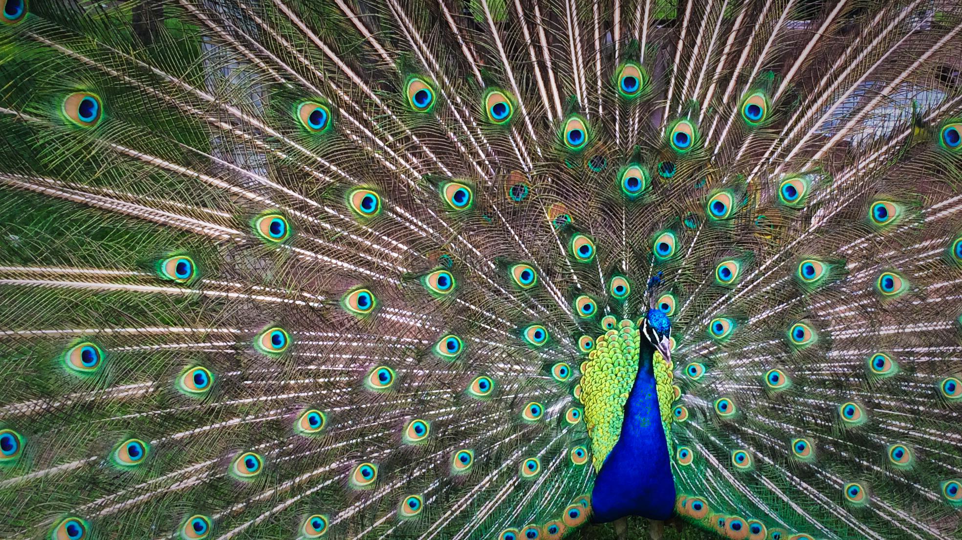 Peacock-Pride.png