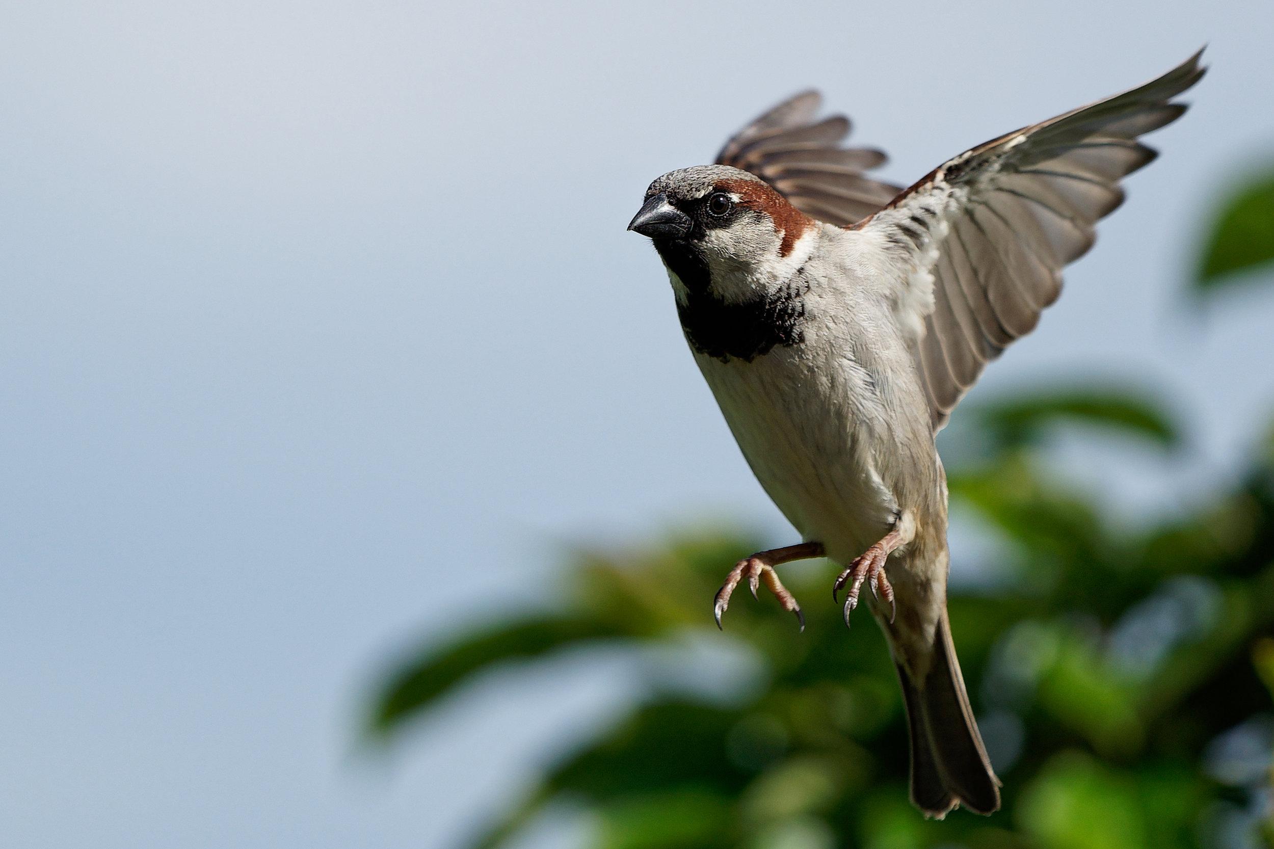 sparrow-bird.png