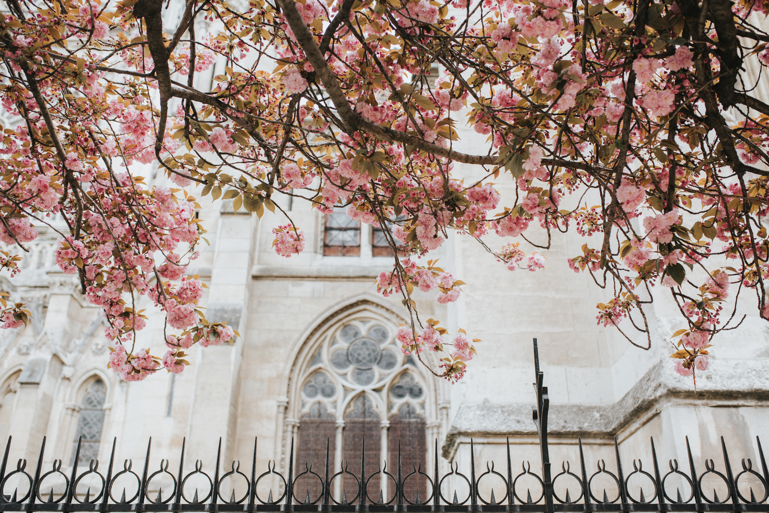 Spring at Notre Dame Cathedral and cherry blossoms captured by Paris Photographer Federico and Anastasia Guendel IheartParisFr TheFlyingPoodle