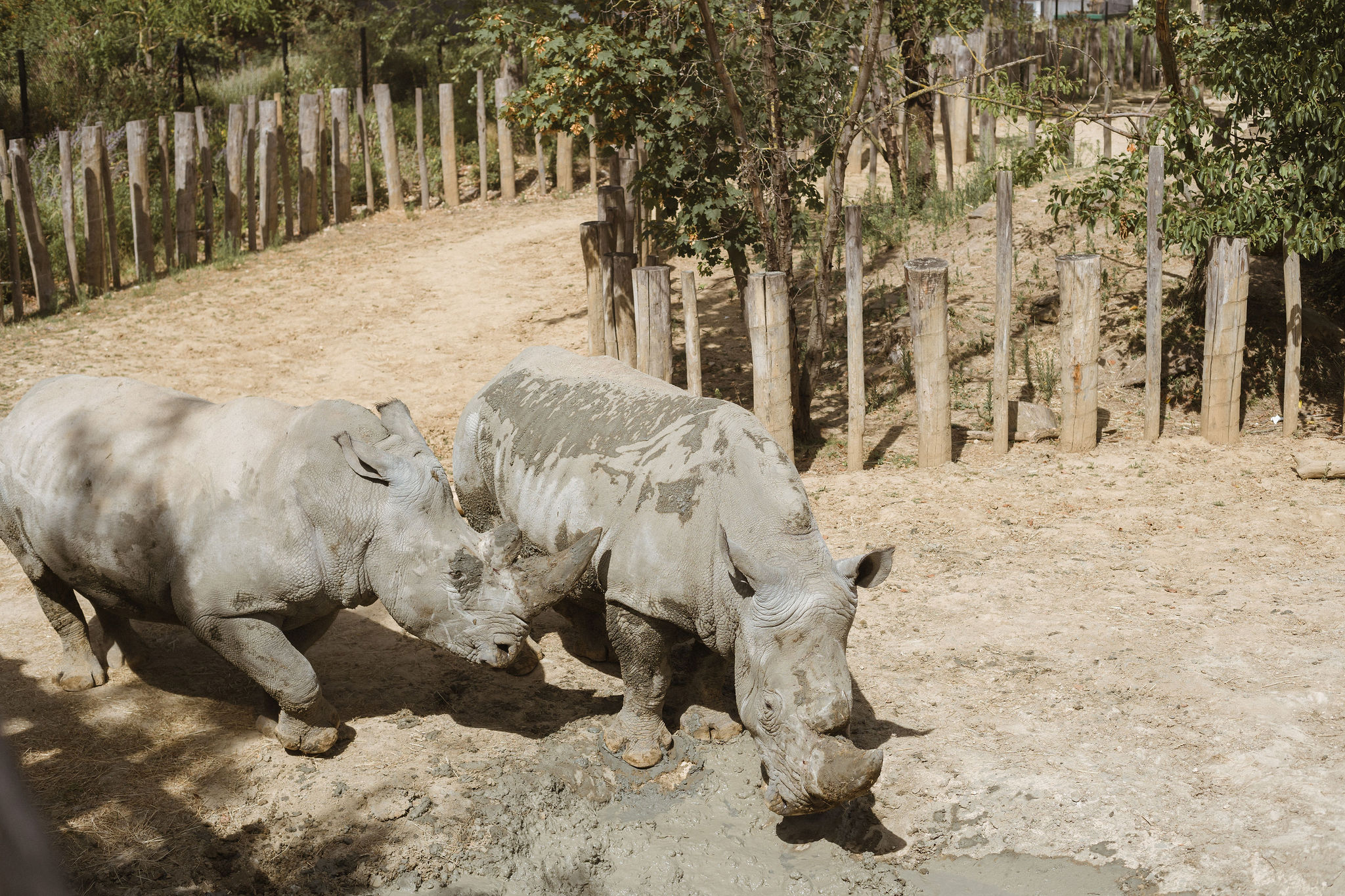 rhinos paris zoo photographer iheartparis.jpg