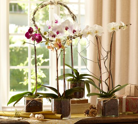 Live Orchids with Glass Vases from Pottery Barn