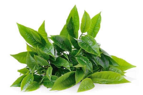 Green-Tea-Leaf-dreamstime_s_45872454.jpg