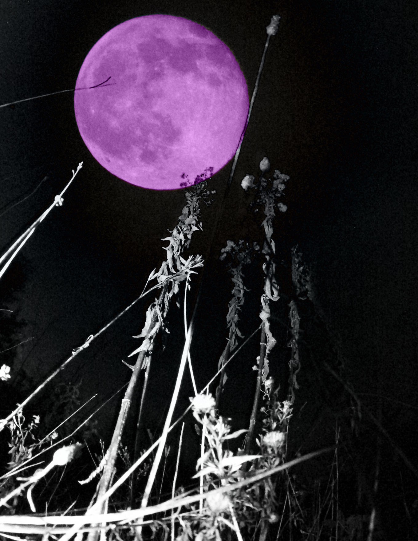 purple moon wheat.jpg