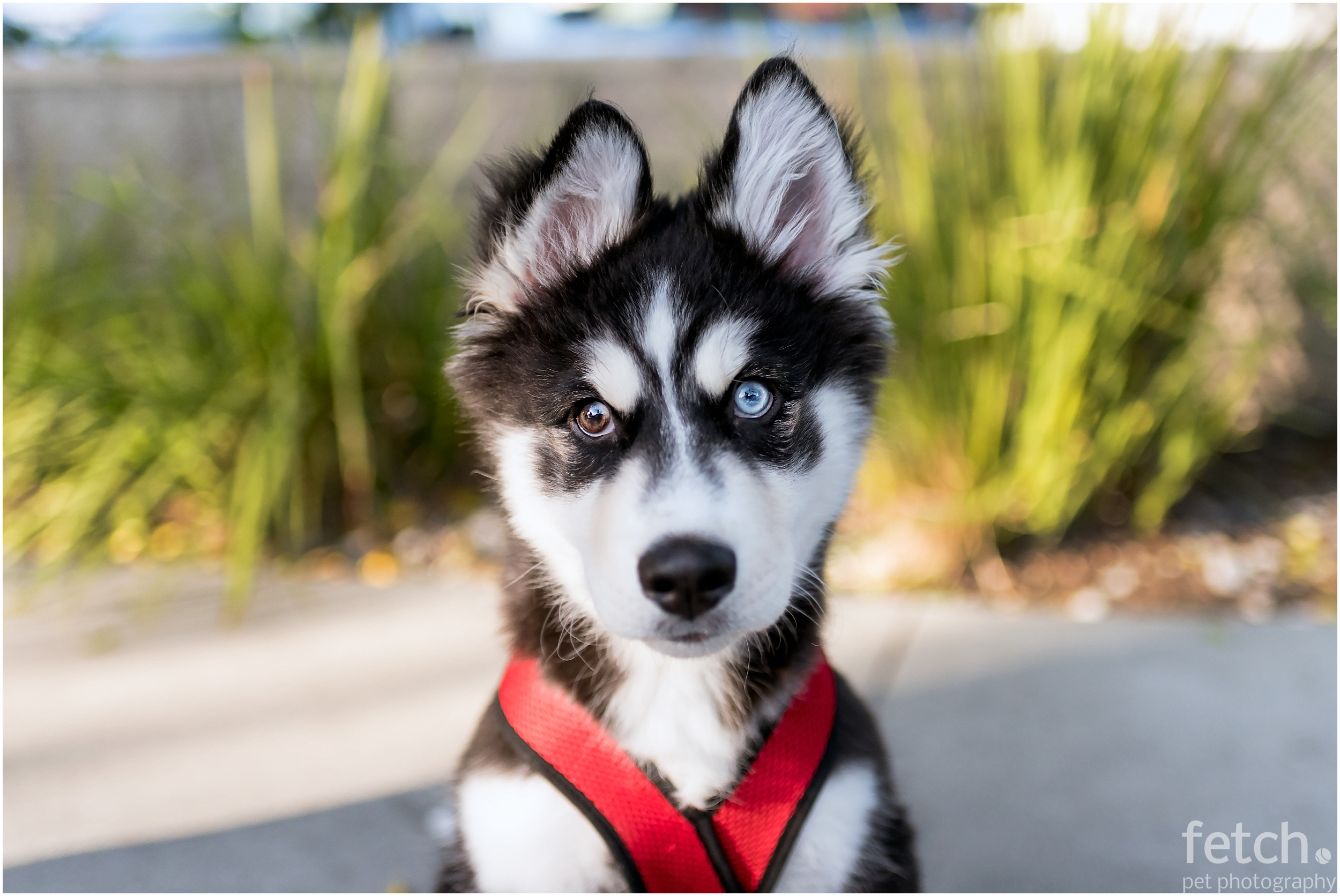 siberian-husky-puppy-expressions