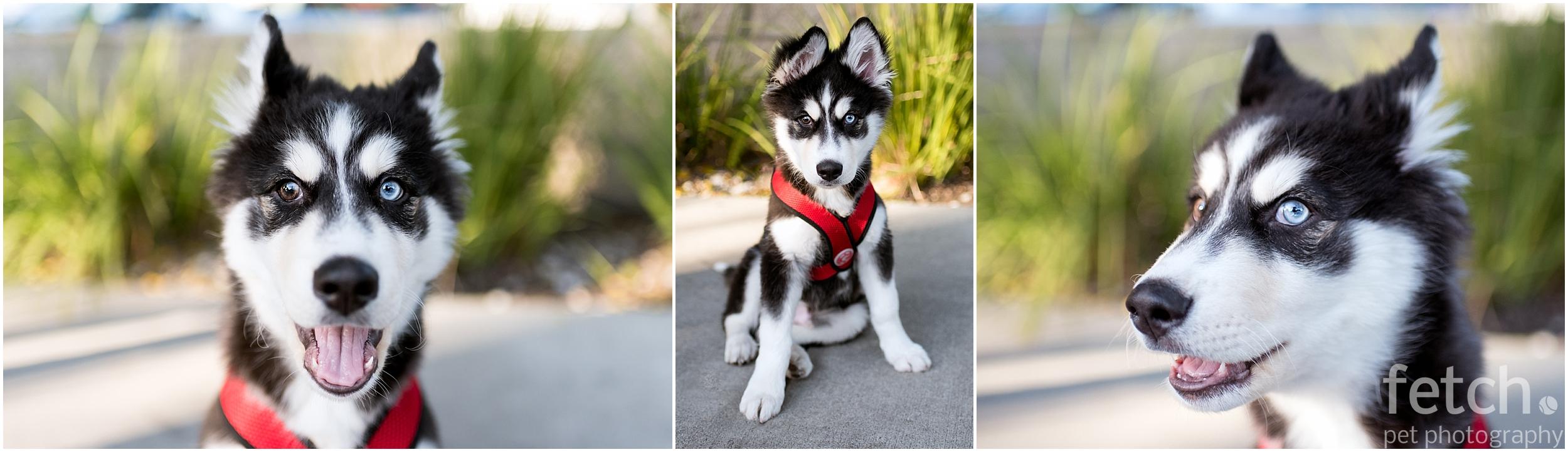 cute-puppy-siberian-husky