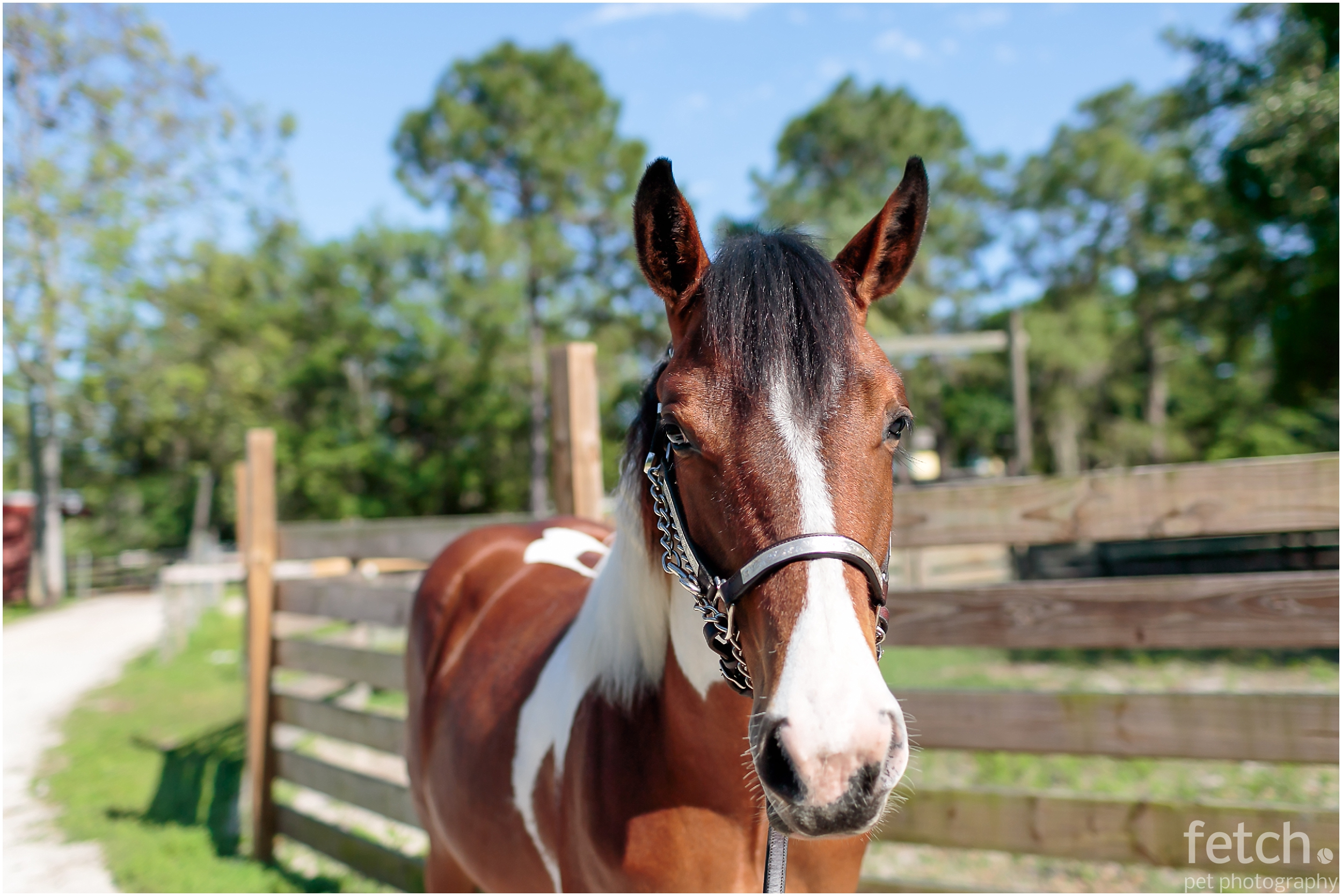 sarasota-florida-pinto-horse