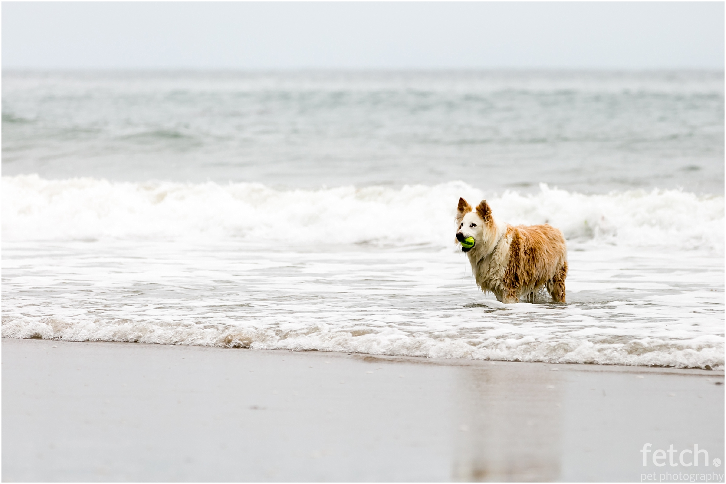 australian-shepherd-with-ball-in-ocean