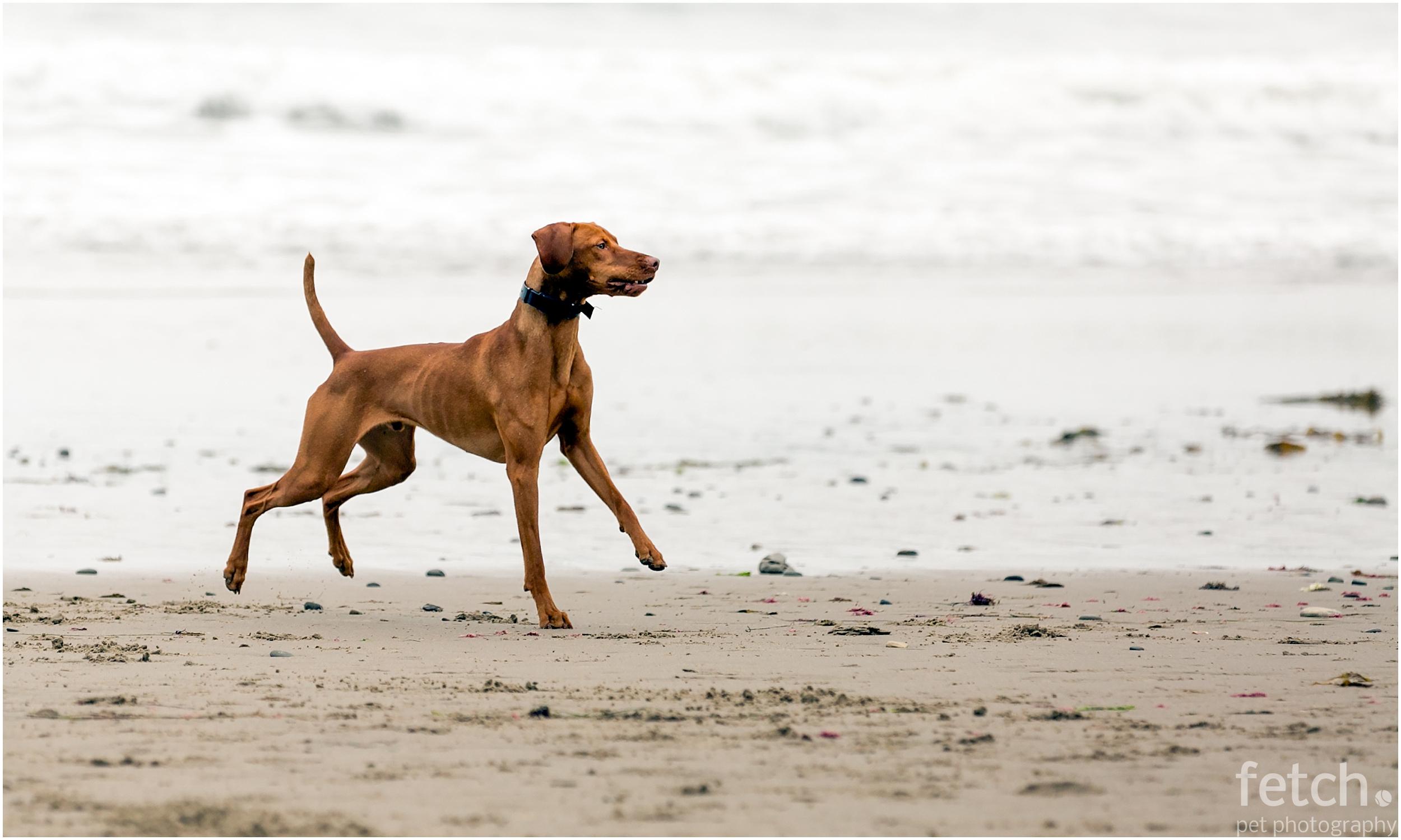 vizsla-chases-ball-at-dog-beach