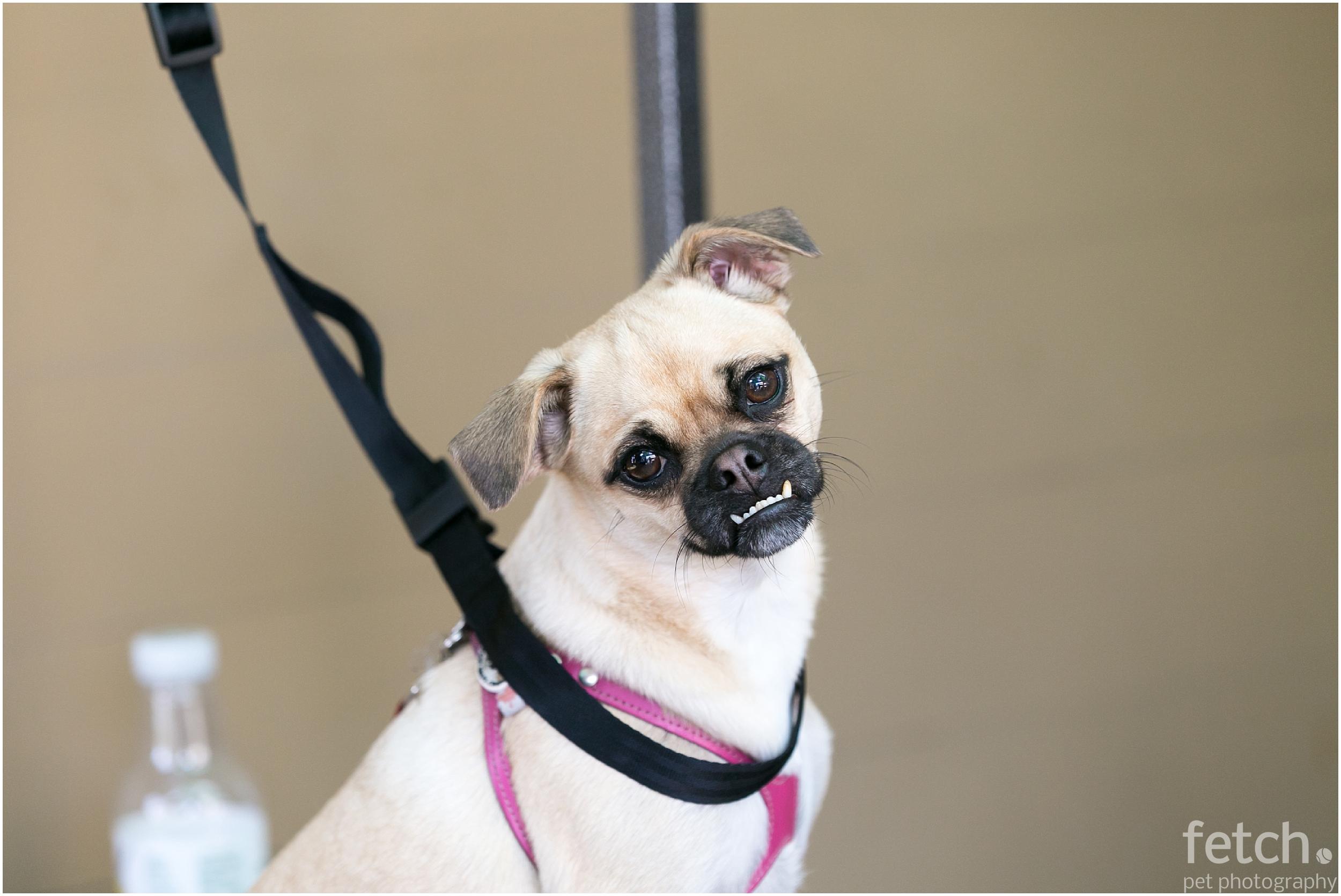 pug-grooming