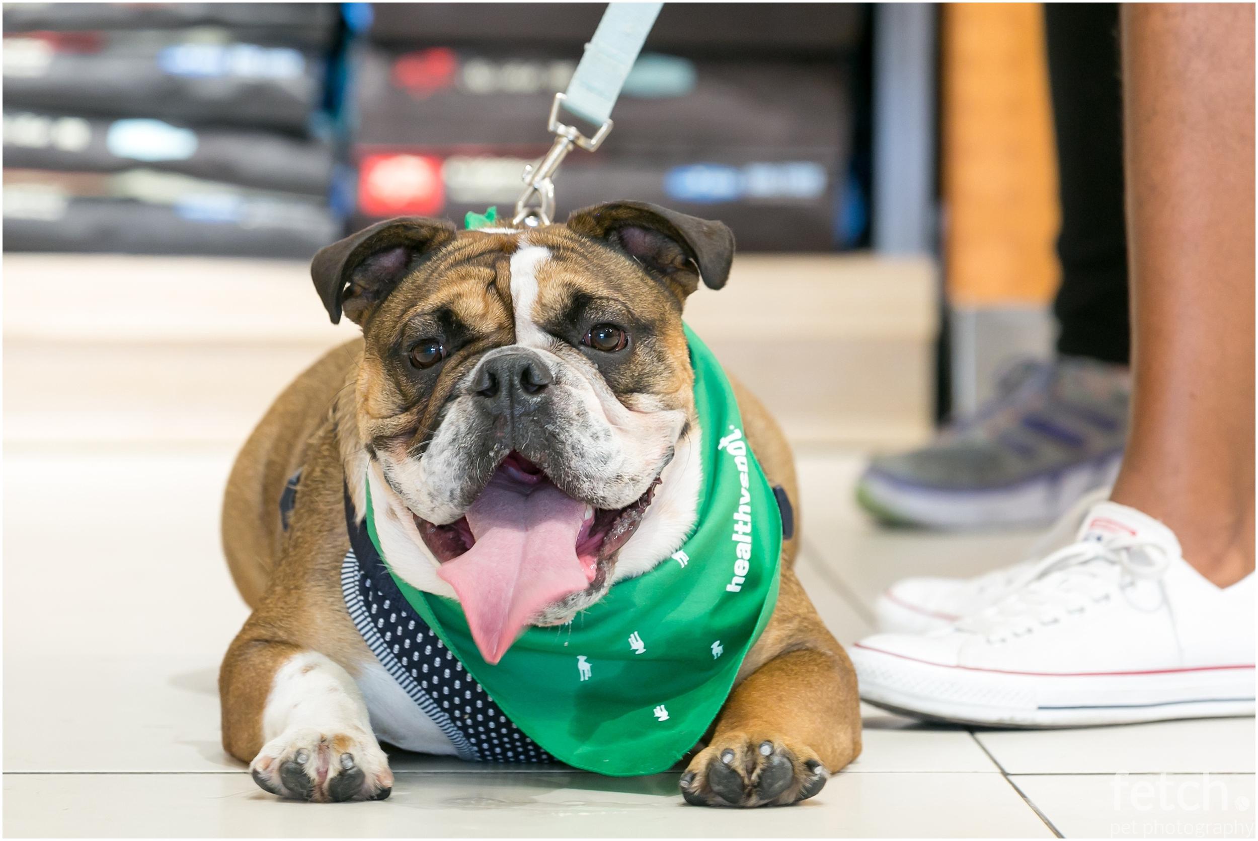 bulldog-bandana