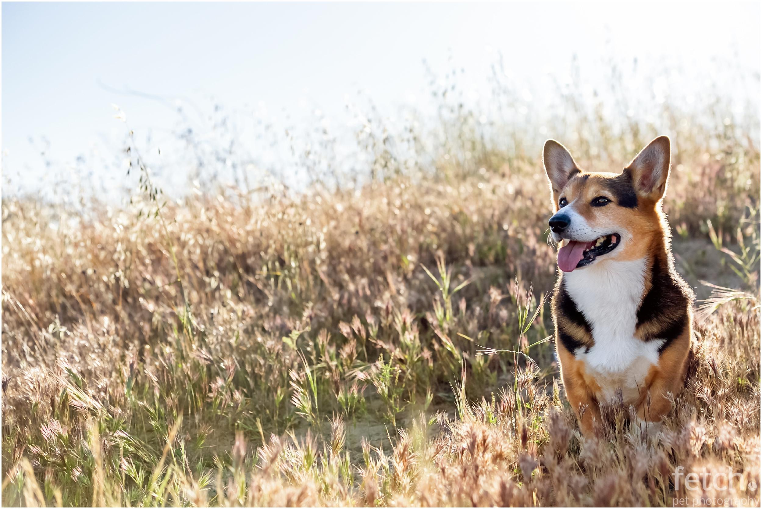 cute-corgi-wheat-field