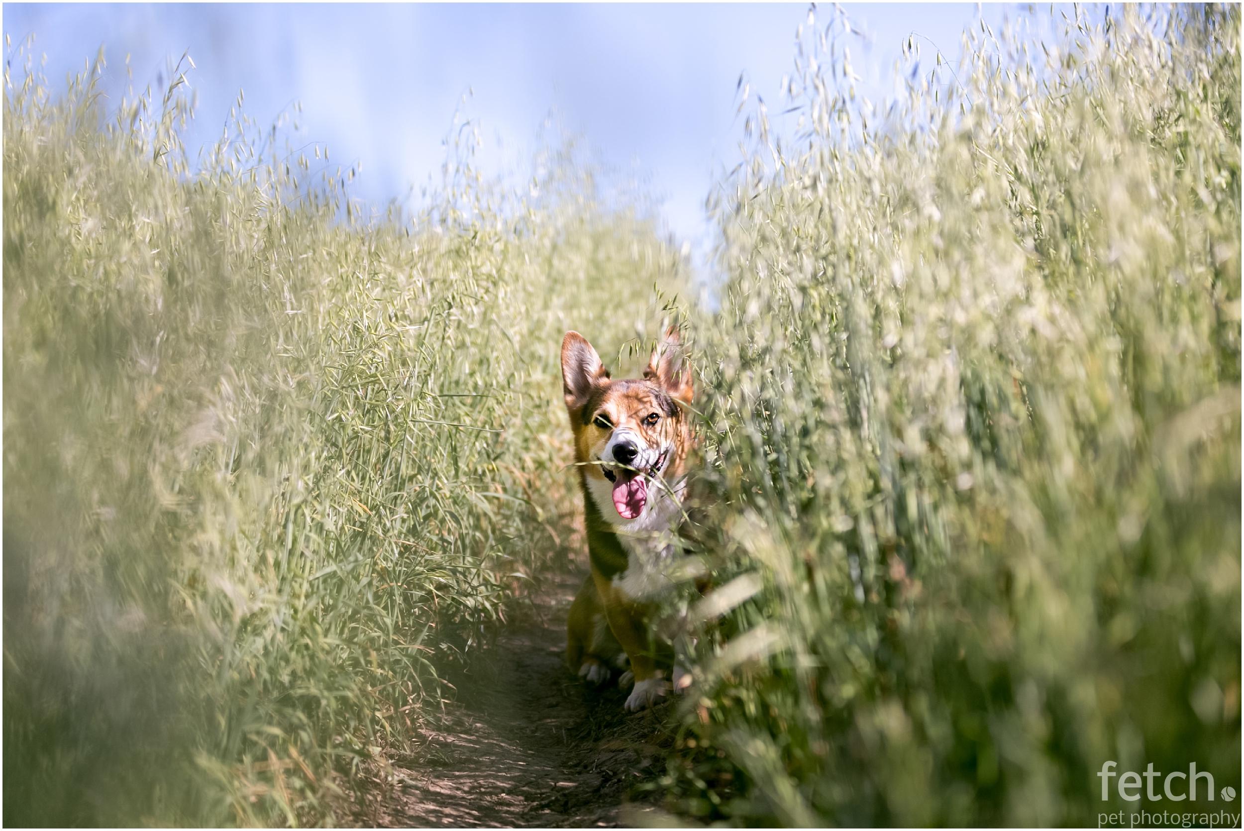 small-corgi-grass-field