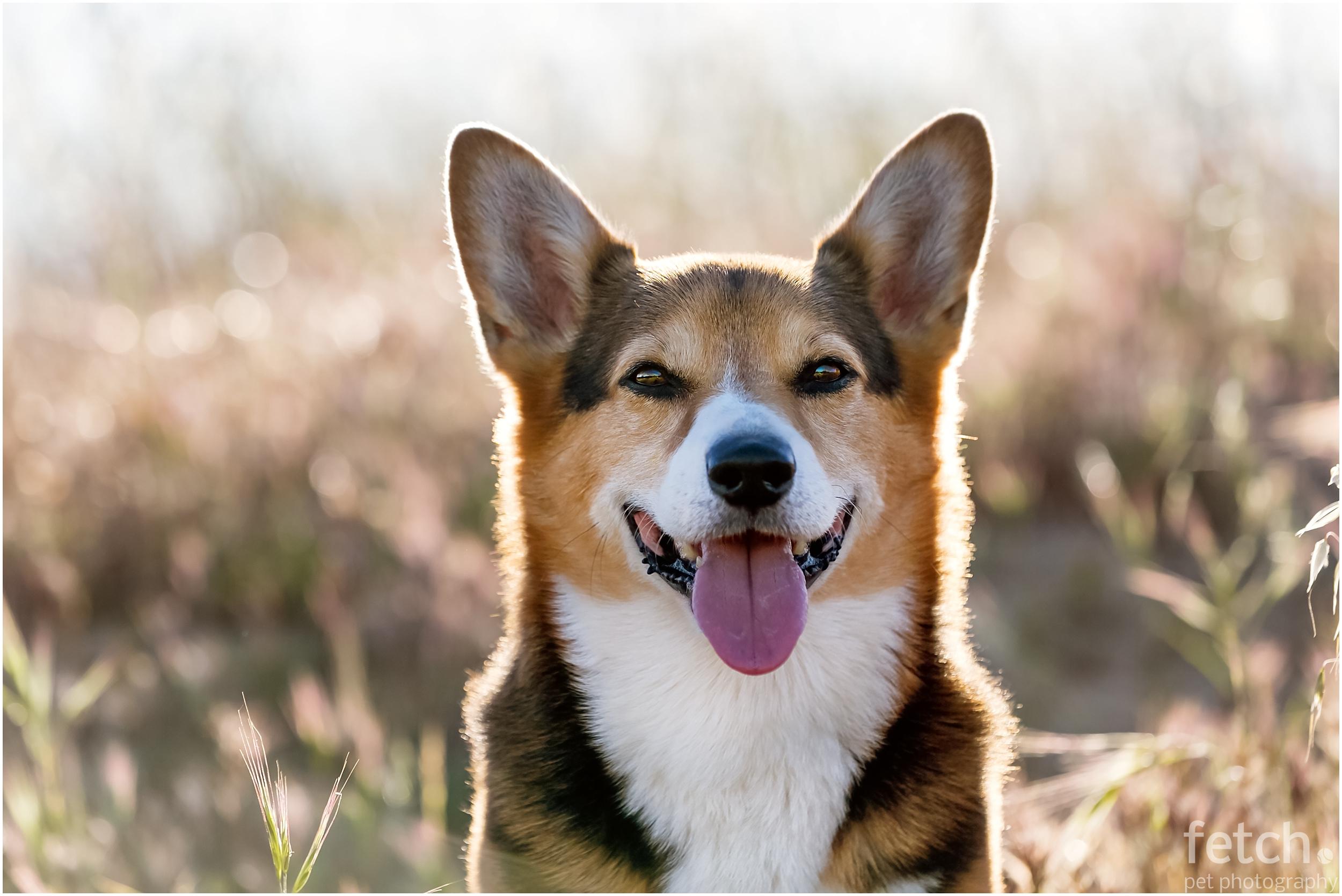 pet-portrait-corgi
