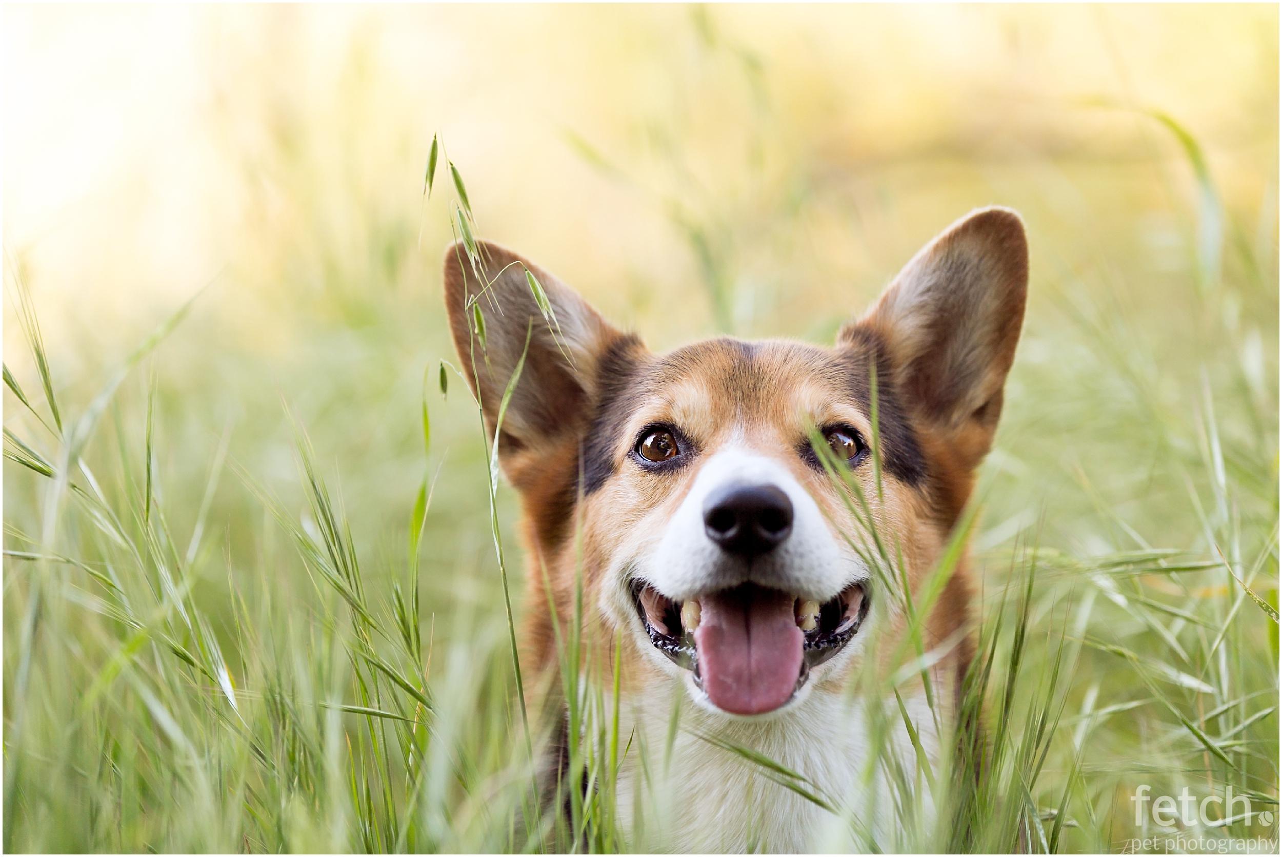 smiling-corgi-tall-grass