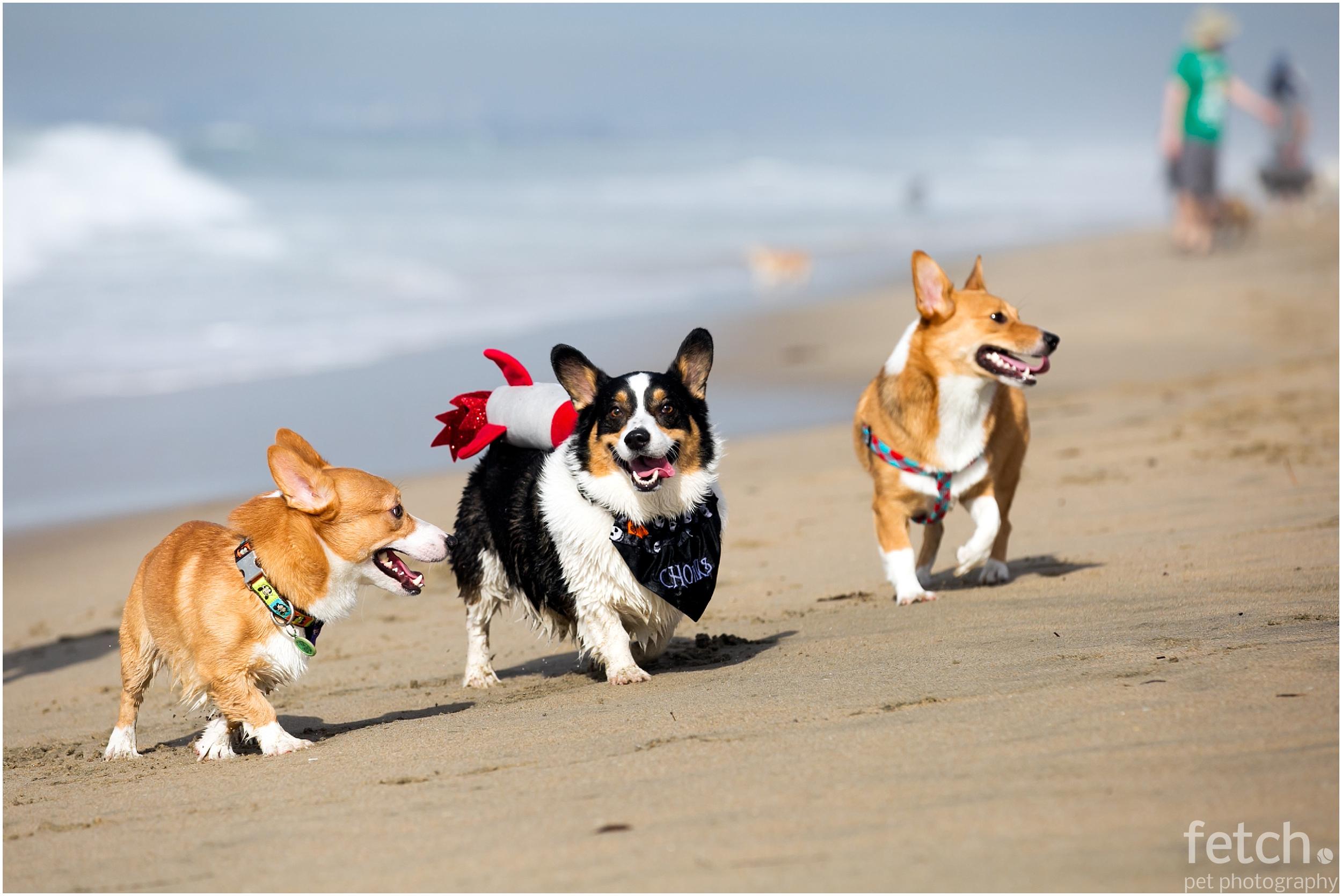 corgi-beach-day-los-angeles