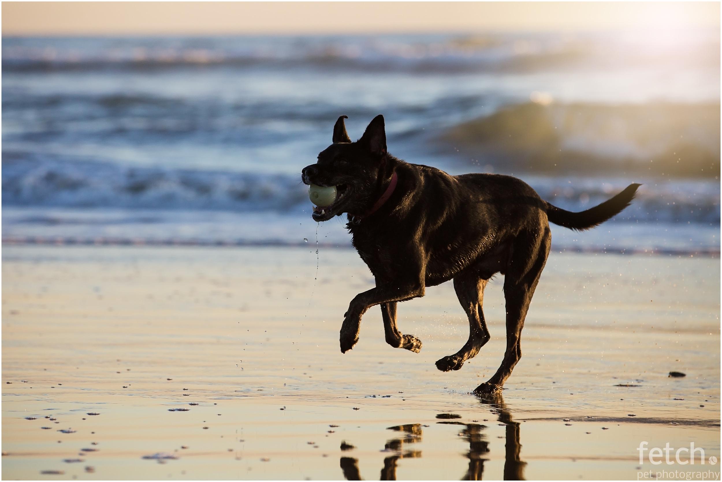 black-dog-on-sunset-beach