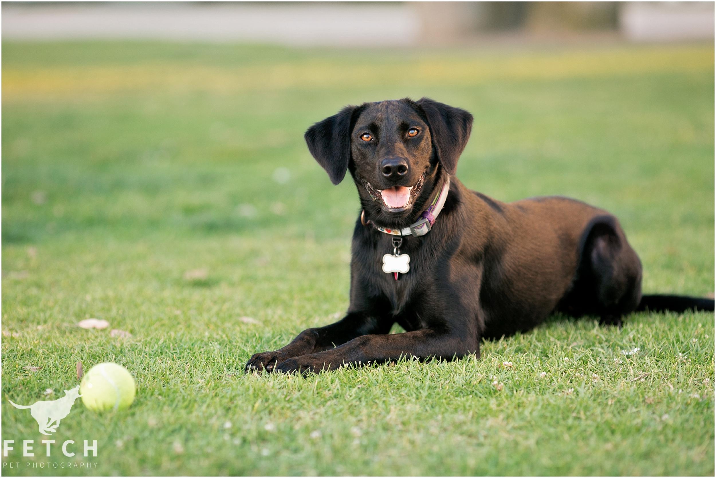 black-labs-tennis-ball