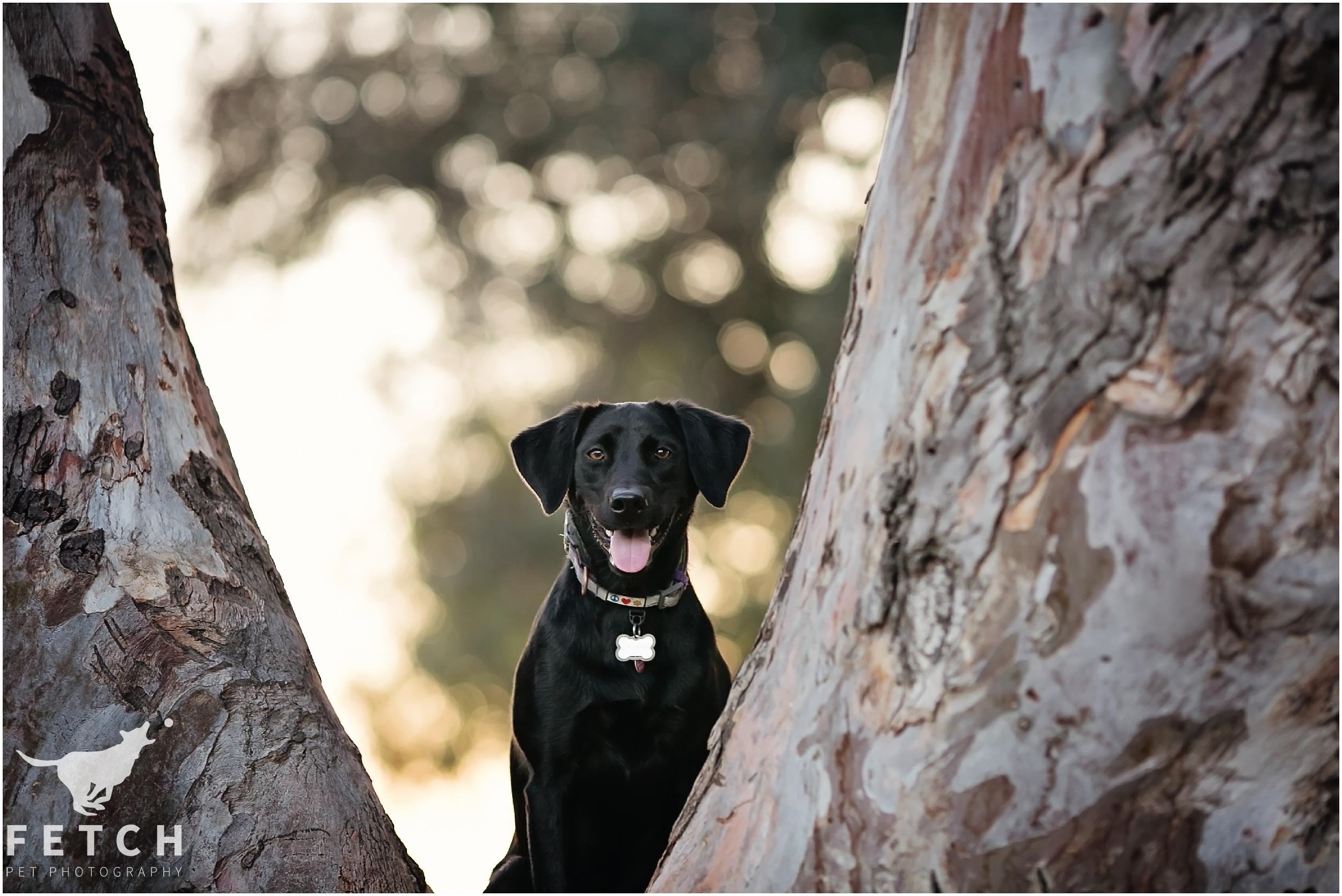 labrador-retriever-black