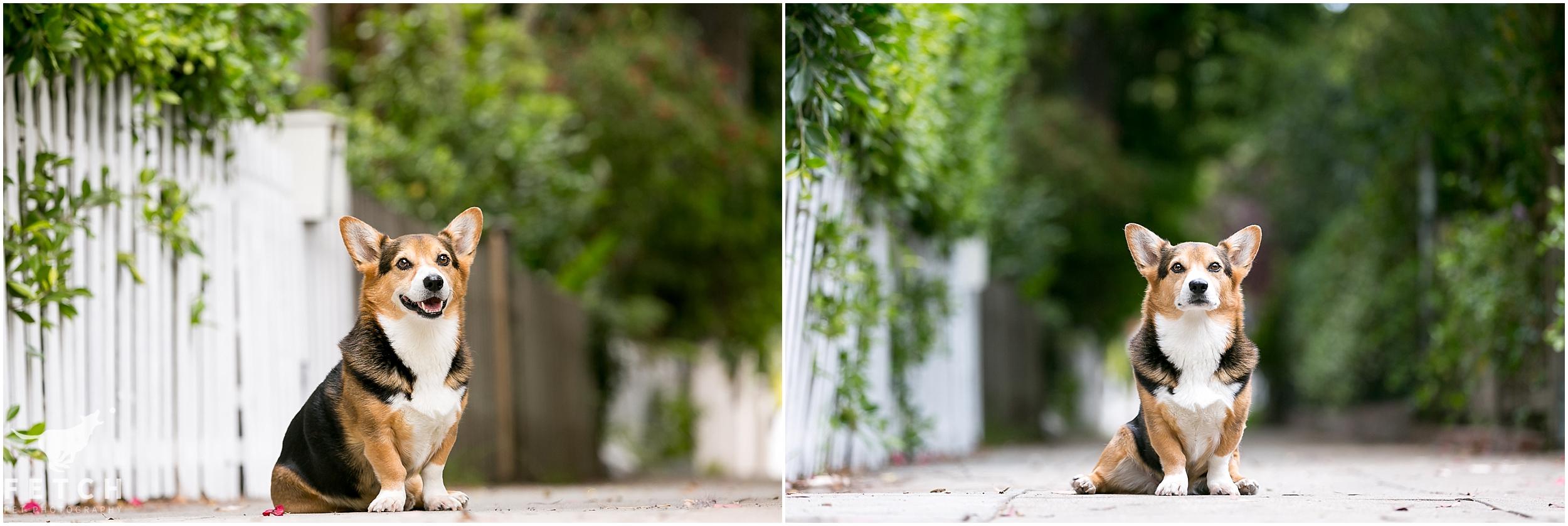 corgi-white-picket-fence