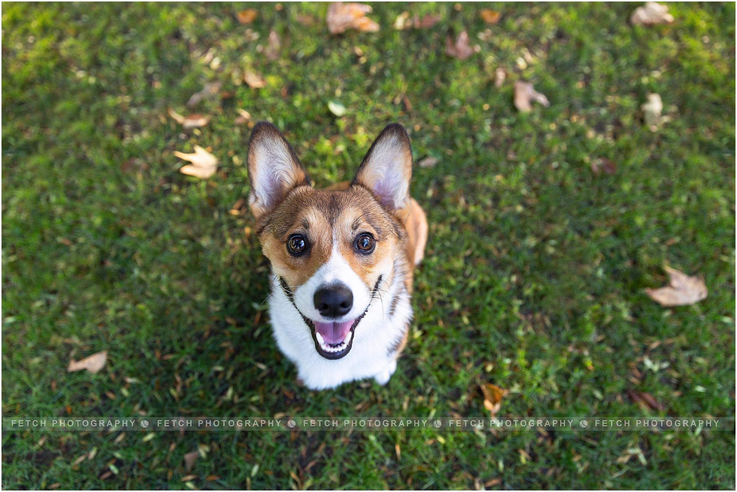 corgi-puppy-photos