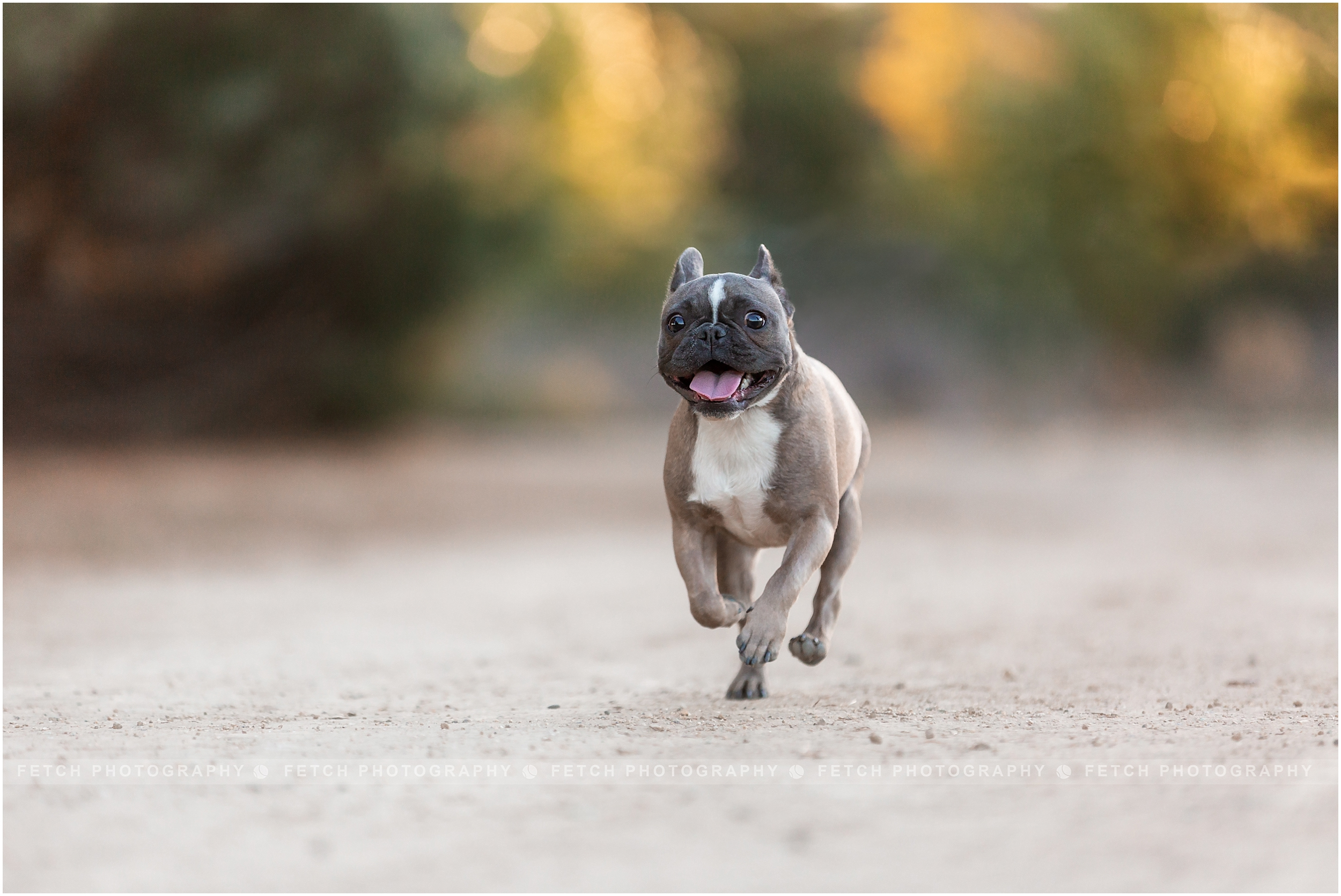 frenchie-running-at-park