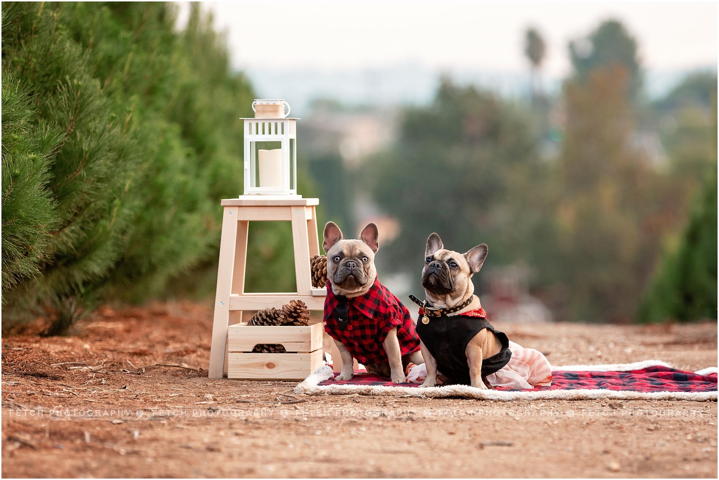 french-bulldog-holiday-photos