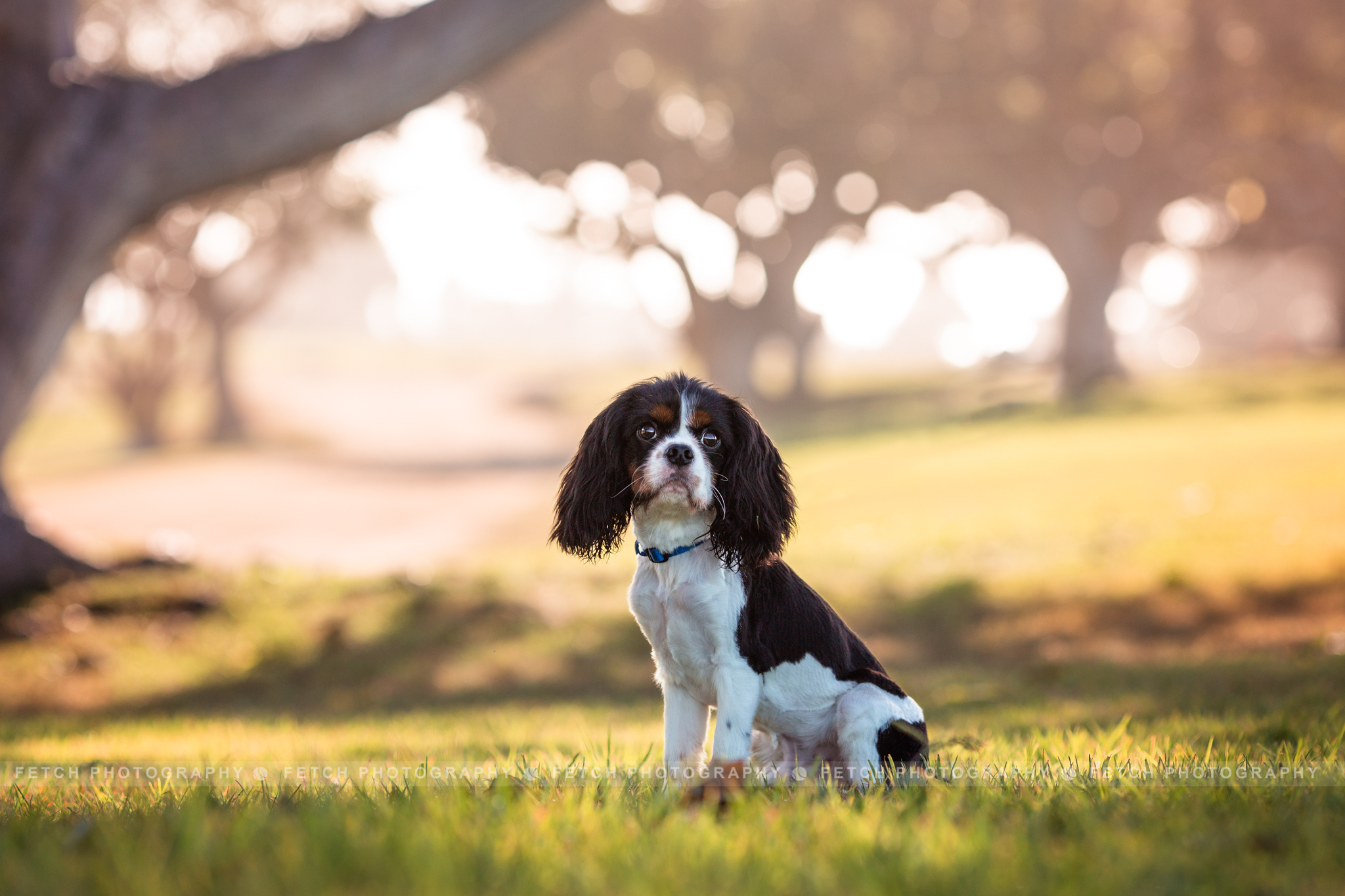 los-angeles-cavalier-king-charles-spaniel-photographer