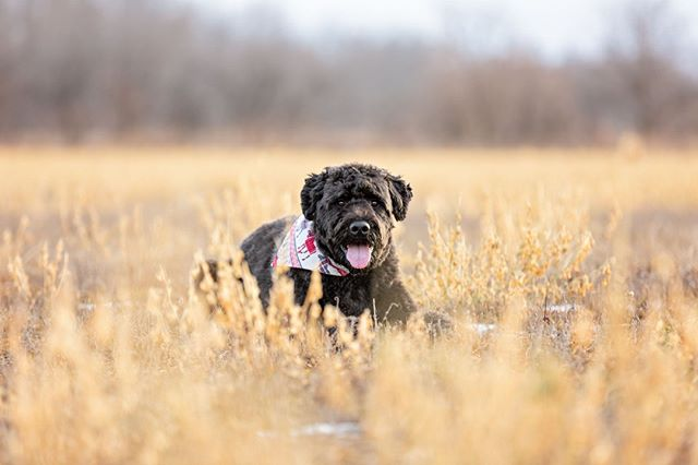 DUKE, the bouvier des flandres | shooting in a frozen field was definitely a new experience for this california girl! ❄️⠀ _______________⠀⠀ #aplacetolovedogs #bestwoof #bouvier #bouvierdesflandres #bouviersofinstagram #dailypuppy #dog #doglife #doglover #dogphotographer #dogphotography #dogs #dogscorner #dogstagram #dogsofig #dogsofinstagram #dogs_of_instagram #hairofthedogblog #instadog #petphotographer #petphotographersclub