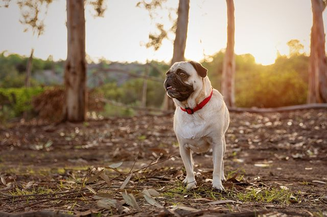 GOOBER, the pug | Goober was his already named when he was adopted, and while it's silly, Goober really is the perfect name for him⠀ _______________⠀⠀ #aplacetolovedogs #bestwoof #dailypuppy #dog #doglife #doglover #dogphotographer #dogphotography #dogs #dogscorner #dogstagram #dogsofig #dogsofinstagram #dogs_of_instagram #hairofthedogblog #instadog #instapug #petphotographer #petphotographersclub #pug #pugs #puglife #puglove #puglover #pugstagram #pugsofinstagram #pugoftheday #pugpuppy