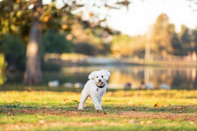 JULIUS, the bichon frise | Julius has a resilient, upbeat spirit that I was so excited to capture in his portraits for the @opca.shelter.network.alliance publication, Faces of Freedom.⠀ _______________⠀ #adoptdontshop #aplacetolovedogs #bestwoof #bichon #bichonfrise #bichonlove #bichonstagram #bichonsofinstagram #dailypuppy #dog #doglife #doglover #dogphotographer #dogphotography #dogs #dogscorner #dogstagram #dogsofig #dogsofinstagram #dogs_of_instagram #hairofthedogblog #instadog #losangelesdogs #petphotographer #petphotographersclub #rescue #rescuedog #rescuedogs #rescuedogsofinstagram #tripawd