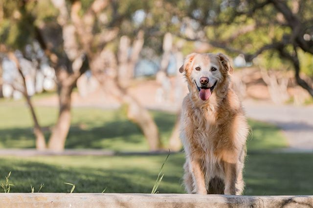 FARLEY, the golden retriever | The oldest of his Golden pack, Farley is a goofy boy and loved running around in the grass and sand for his session. ⠀ _______________⠀ #adoptdontshop #aplacetolovedogs #bestwoof #dailypuppy #dog #doglife #doglover #dogphotographer #dogphotography #dogs #dogscorner #dogstagram #dogsofig #dogsofinstagram #dogs_of_instagram #golden #goldens #goldenretriever #goldenretrieversofinstagram #hairofthedogblog #instadog #losangelesdogs #petphotographer #petphotographersclub #rescue #rescuedog #rescuedogs #rescuedogsofinstagram #retrieverstagram