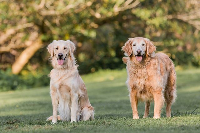 BELLE & ALLIE, the golden retrievers | Belle loves her older sister Allie, who is the sweetest little lady!⠀ _______________⠀ #adoptdontshop #aplacetolovedogs #bestwoof #dailypuppy #dog #doglife #doglover #dogphotographer #dogphotography #dogs #dogscorner #dogstagram #dogsofig #dogsofinstagram #dogs_of_instagram #golden #goldens #goldenretriever #goldenretrieversofinstagram #hairofthedogblog #instadog #losangelesdogs #petphotographer #petphotographersclub #rescue #rescuedog #rescuedogs #rescuedogsofinstagram #retrieverstagram