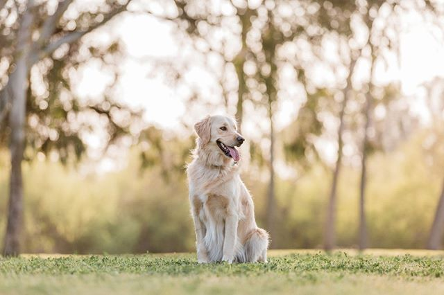 BELLE, the golden retriever | Belle is new to her family, and she is loving getting to know them and exploring her new world.⠀ _______________⠀ #adoptdontshop #aplacetolovedogs #bestwoof #dailypuppy #dog #doglife #doglover #dogphotographer #dogphotography #dogs #dogscorner #dogstagram #dogsofig #dogsofinstagram #dogs_of_instagram #golden #goldens #goldenretriever #goldenretrieversofinstagram #hairofthedogblog #instadog #losangelesdogs #petphotographer #petphotographersclub #rescue #rescuedog #rescuedogs #rescuedogsofinstagram #retrieverstagram