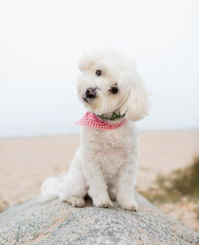 TYSON, the maltese | He is such an attentive and loving little guy - & his head tilt is perfection!⁠ _______________⠀⁠ #adoptdontshop #aplacetolovedogs #bestwoof #dailypuppy #dog #doglife #doglover #dogphotographer #dogphotography #dogs #dogscorner #dogstagram #dogsofig #dogsofinstagram #dogs_of_instagram #hairofthedogblog #instadog #losangelesdogs #maltese #malteseofinstagram #petphotographer #petphotographersclub