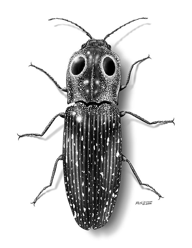 Eyed Click Beetle1.jpg