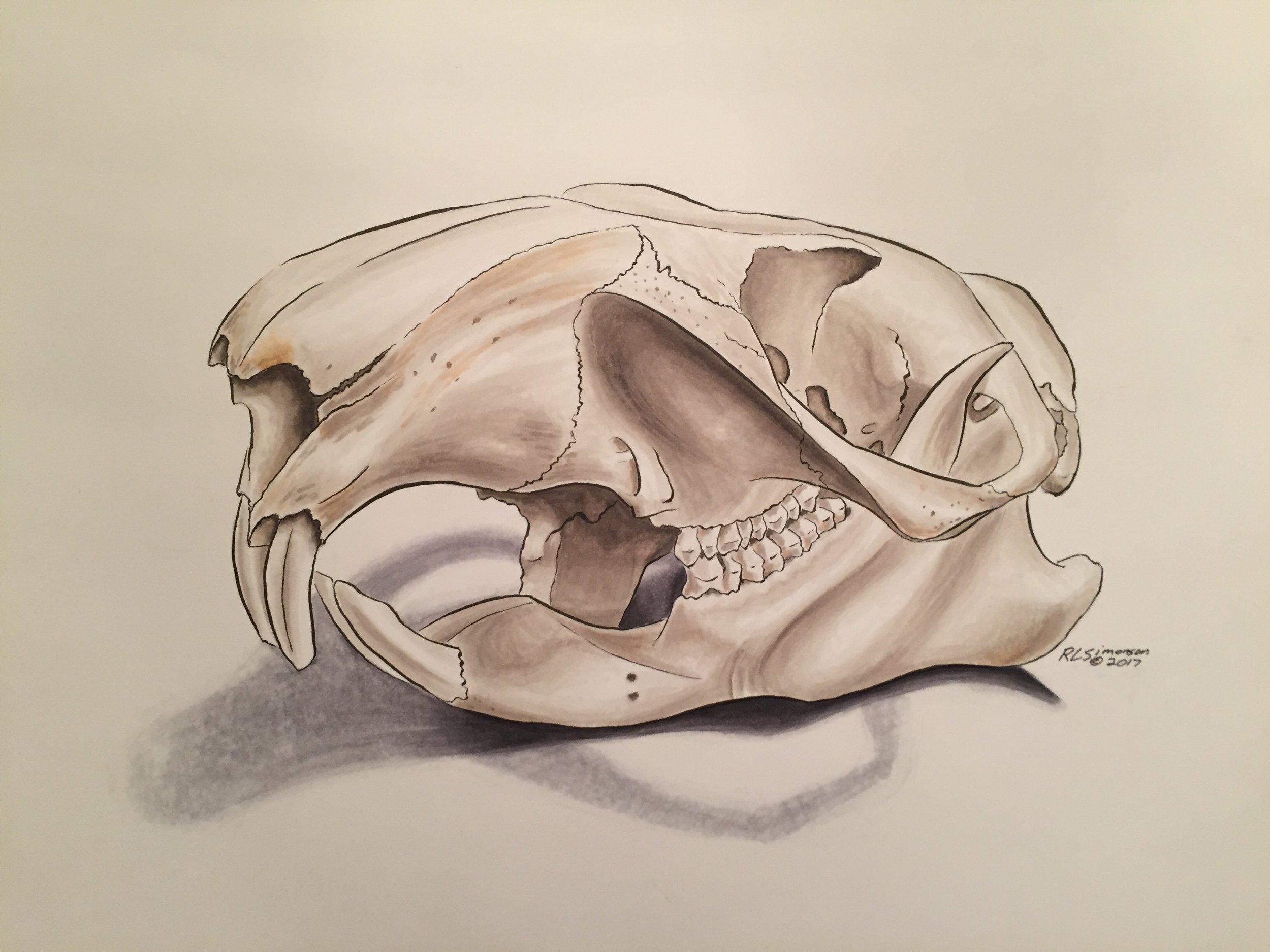 RLS-woodchuck skull.jpg