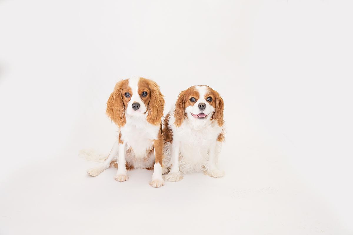 king cavalier puppy and older dog st simons island ga