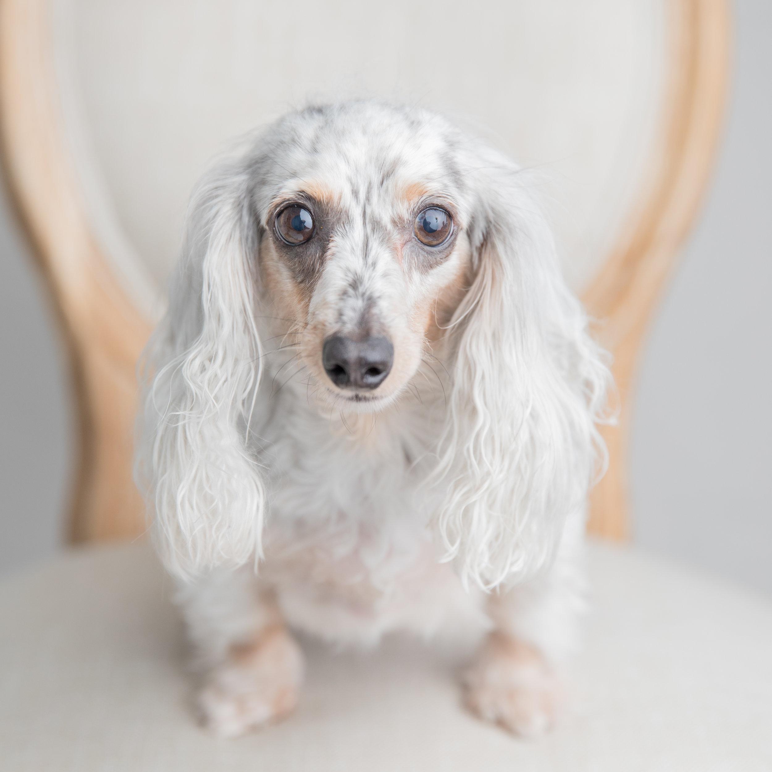 white dauschaund dog in studio st simons island ga