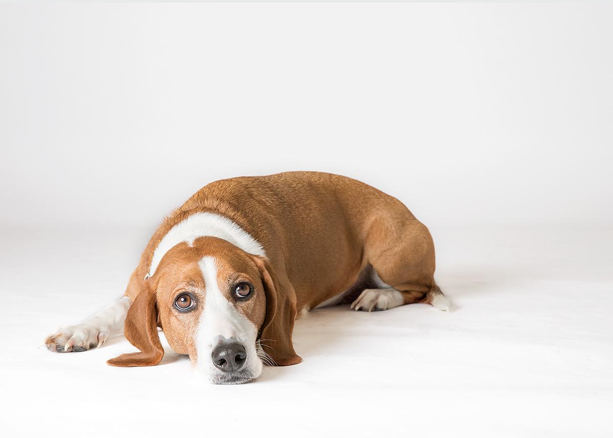 beagle dog studio portrait st simons island ga
