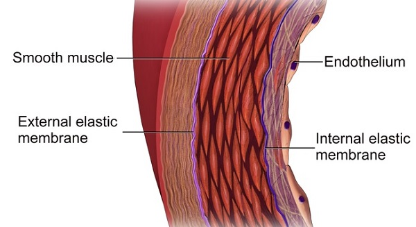 Importance of Endothelial Cells   Wholesome LLC