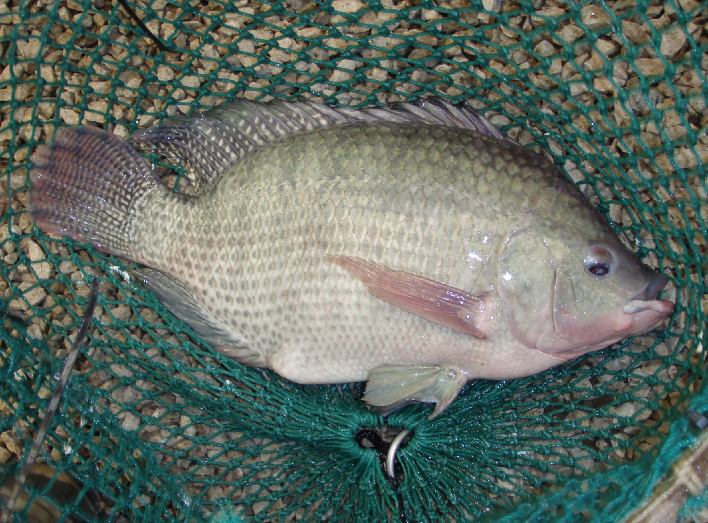 NATI Fish in Net