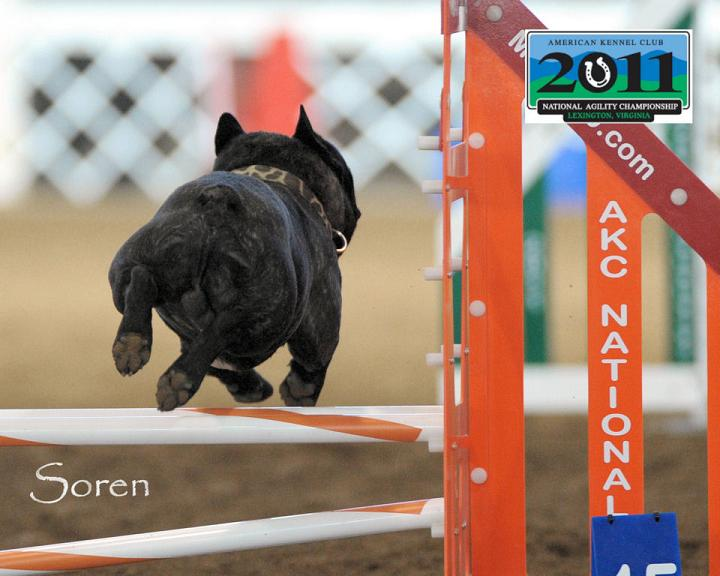 Soren competing at the AKC National Agility Championships in 2011.  He was the first French Bulldog to qualify for and compete in this event.