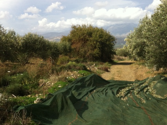 Olive growing estate of Mesto Olive Oil