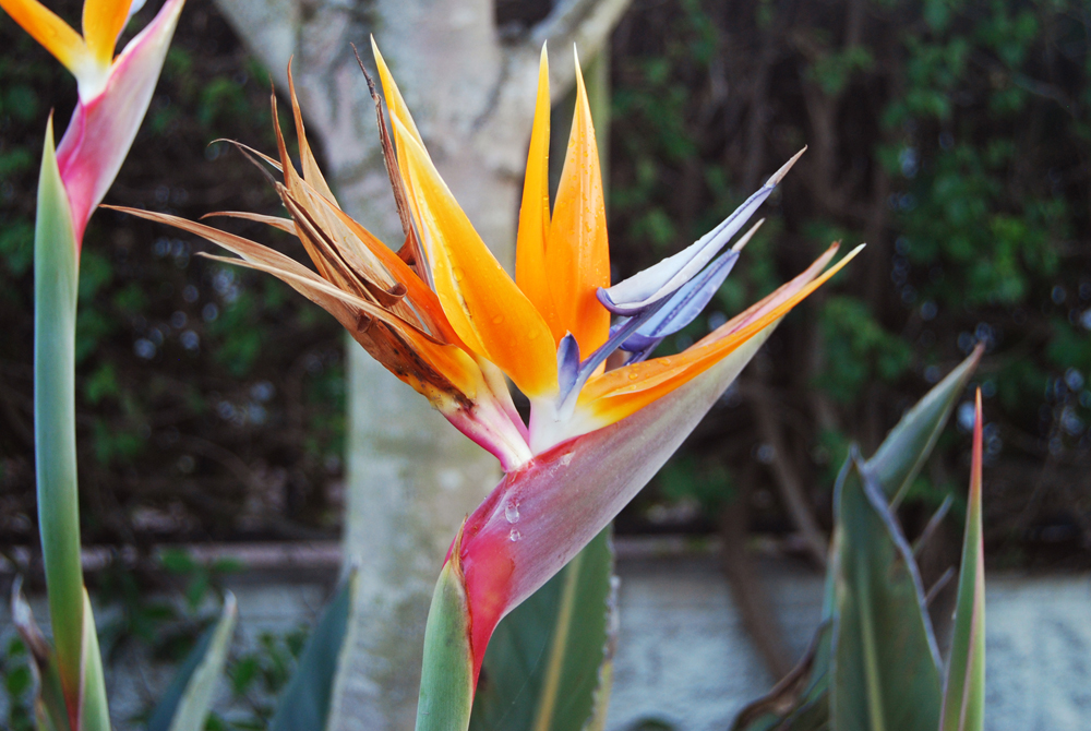 I really like flowers and I photograph those that struck me or that look more uncommon. This flower's genus is called 'Strelitzia', but it is commonly called 'Birds of Paradise' flower. The name instantly brings magical images to my mind.