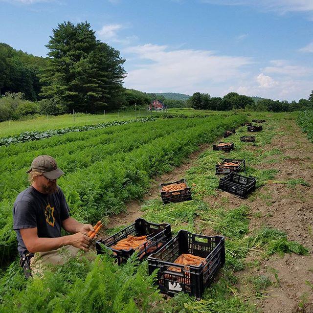 Harvesting big beautiful carrots for today's CSA distribution