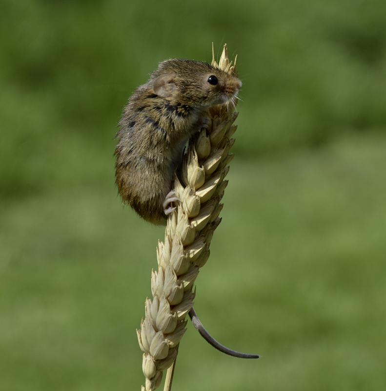Harvest-Mouse.jpg