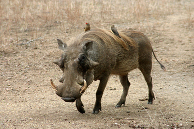 Warthog, Kruger NP '05.jpg