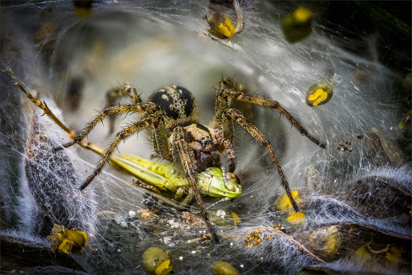 Labyrinth Spider Consuming Grasshopper by Barry Webb  Winner Malcolm Freeman Trophy for Wildlife - DPI